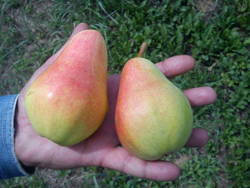 Плоды Стрийской груши