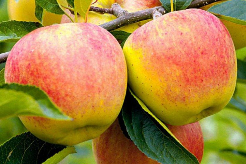 Яблоня сорта Баяна