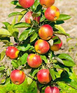 Яблоки сорта Баяна