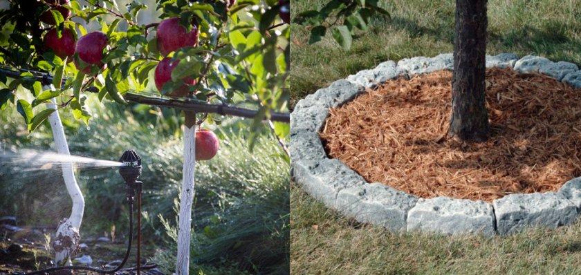 Полив и мульчирование яблони