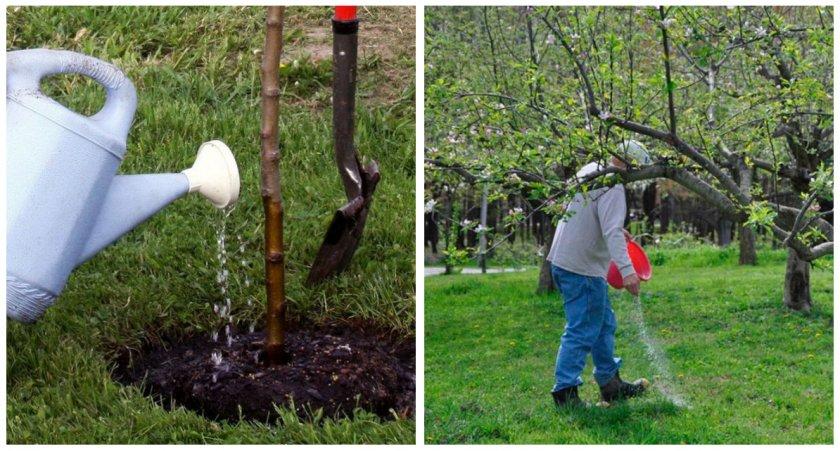 Полив и подкормка яблони
