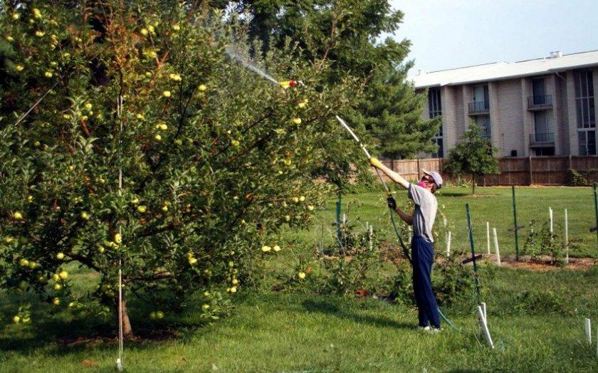 Опрыскивание кроны яблони