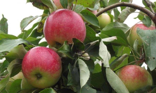 Яблоня Мельба: размножение, уход и описание сорта