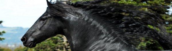 Конь фризской породы