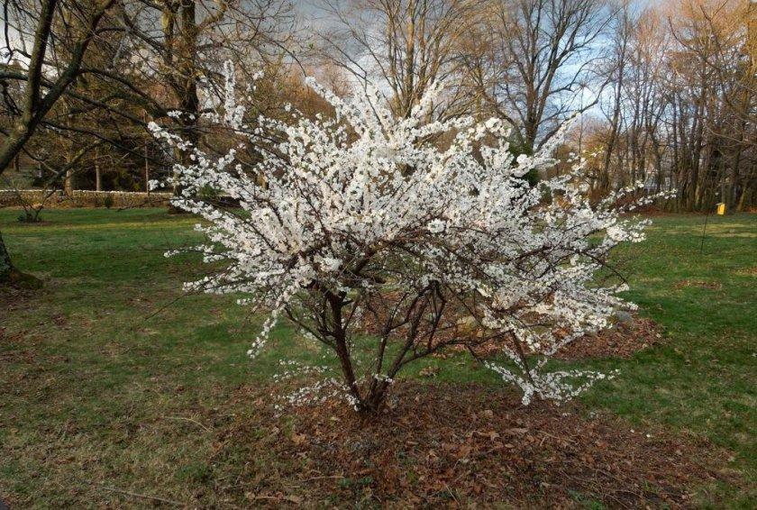 Цветение карликовой вишни