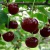 Описание и характеристики вишни сорта Нежность, особенности посадки и ухода