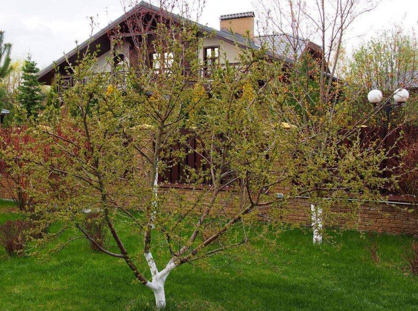 Место выращивания вишни