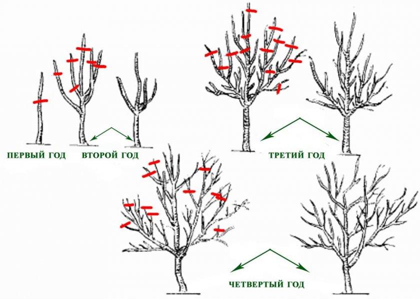 Схема формирования кроны груши