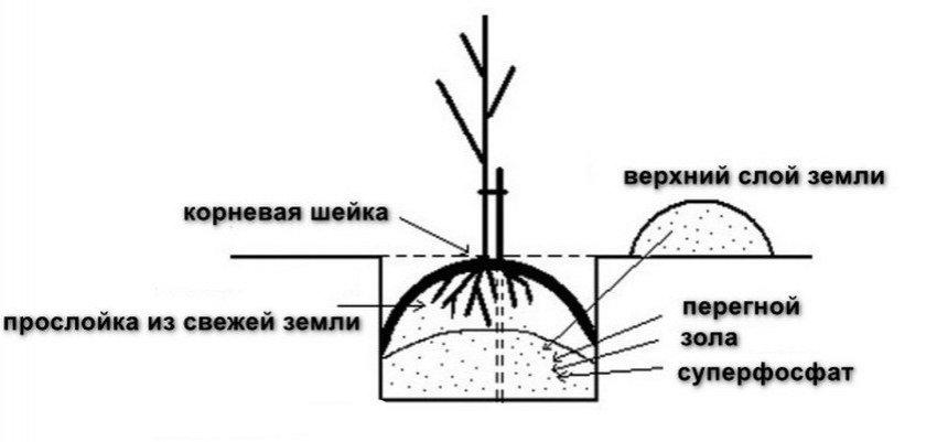 Схема посадки грушевого саженца