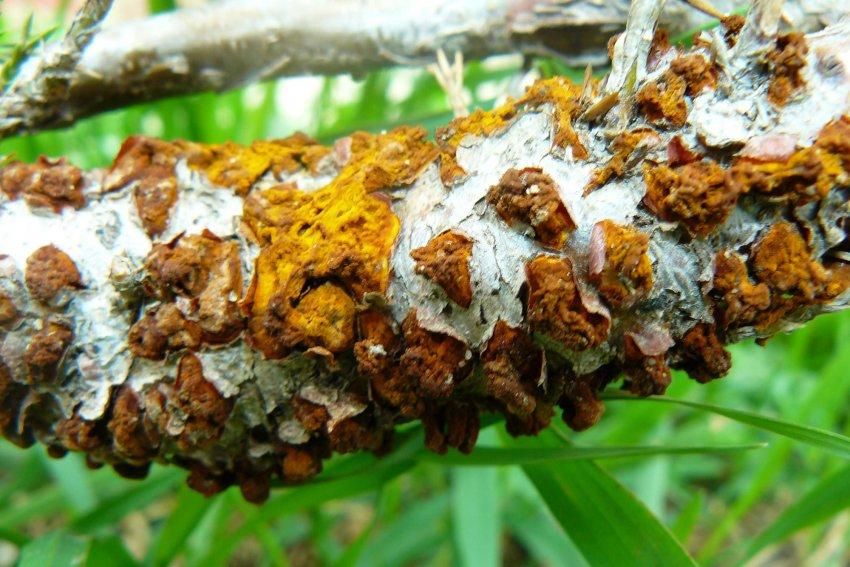 Поражённая ржавчиной кора груши
