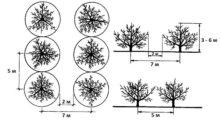 Схема расположения яблонь друг от друга