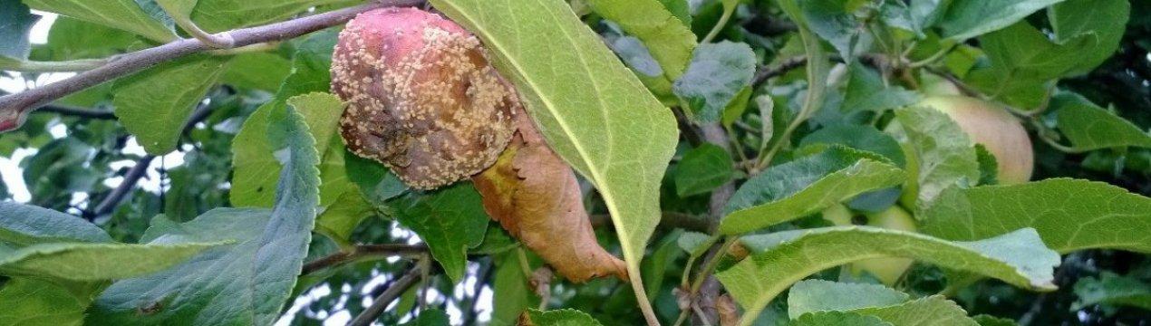 Как избавиться от гниения яблок?