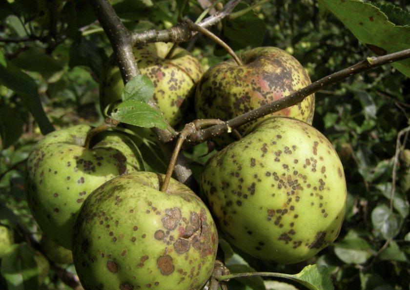 Парша на плодах яблок
