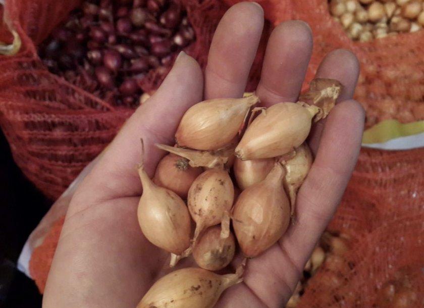 Лук севок для посадки под зиму