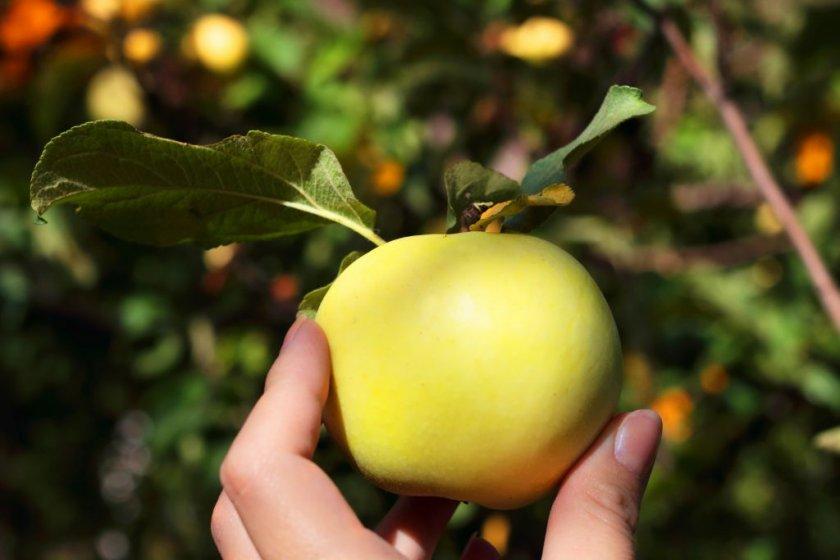 Яблоко сорта Россиянка