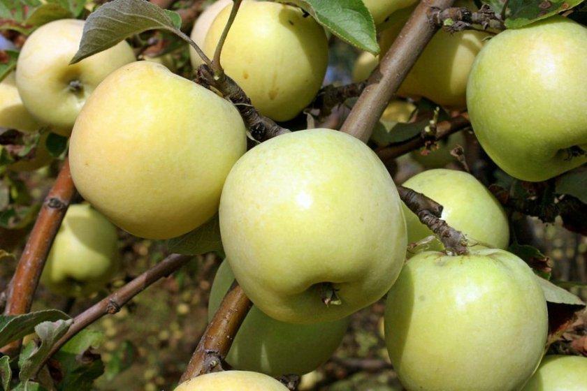 Урожайность яблони Антоновка