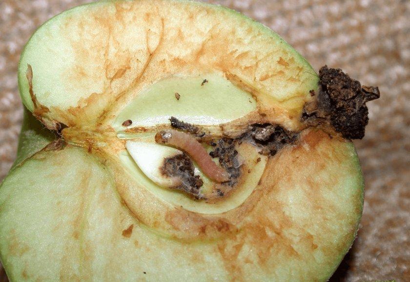 Плодожорка на яблоке