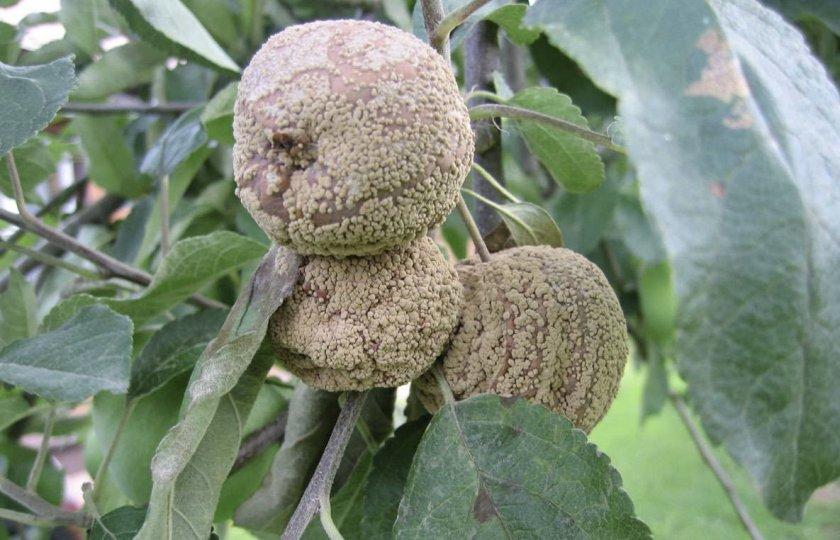 Плодовая гниль на яблоках
