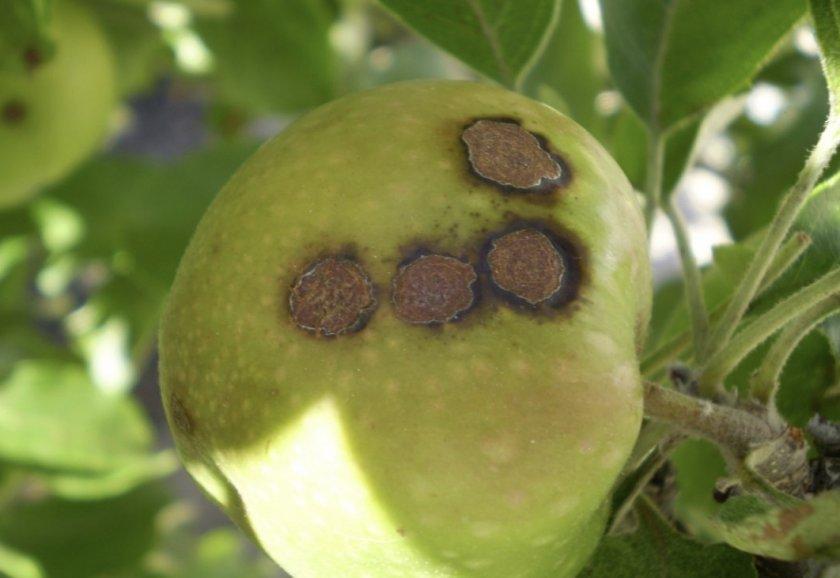 Парша на плодах