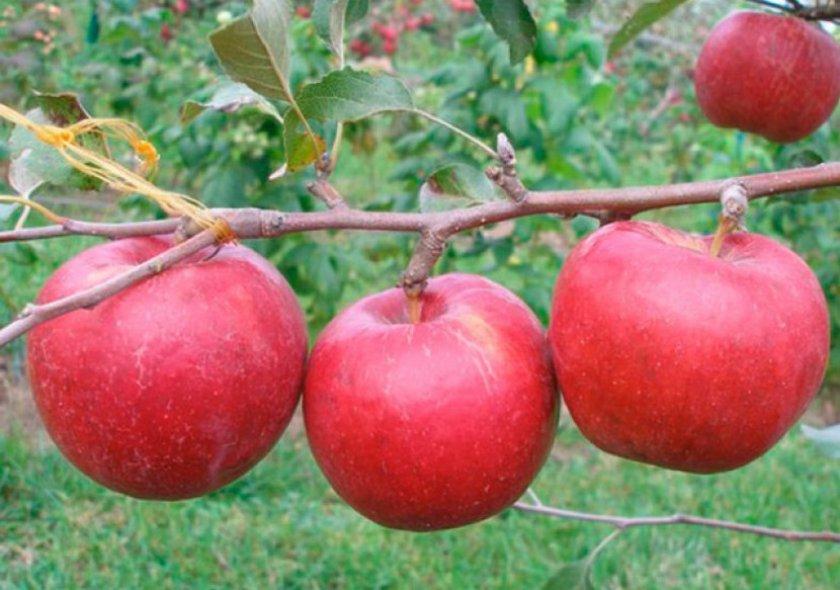 Рубиновые Дуки