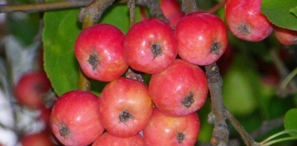 Яблоня китайка керр описание сорта фото отзывы %