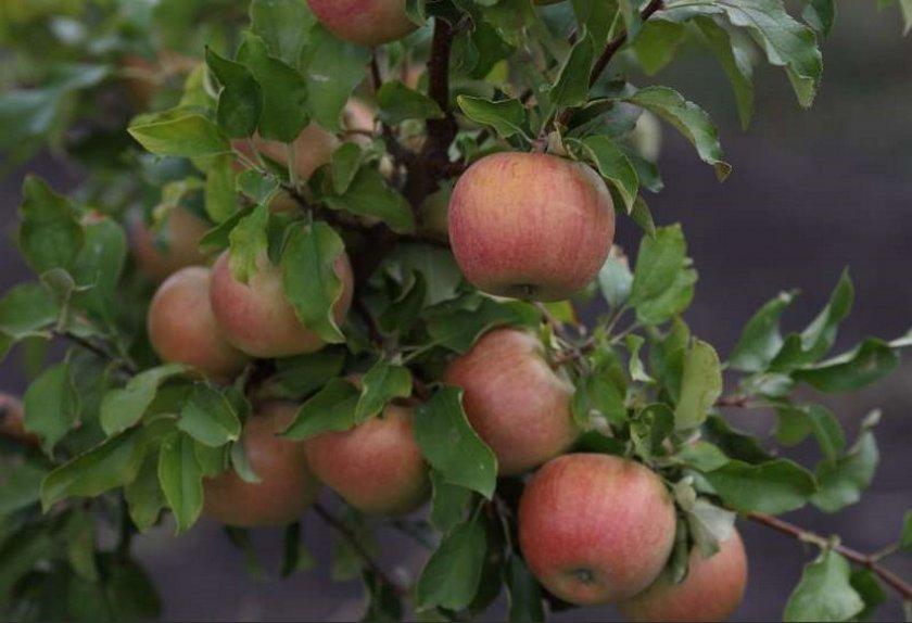 Яблоня сорта Бельфлер-китайка