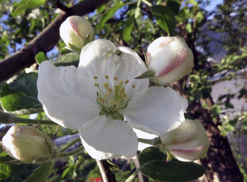 Цветение яблони Сибирская красавица