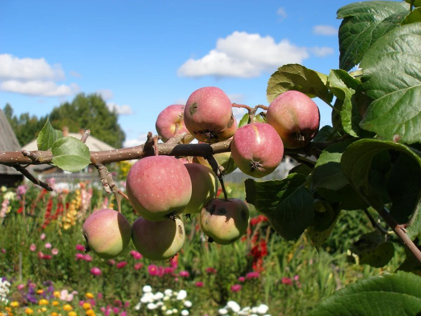 Яблоня Сибирская красавица