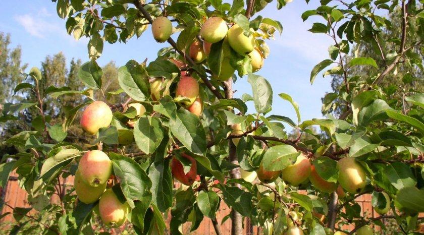 Плодоношение яблони Китайка Моника