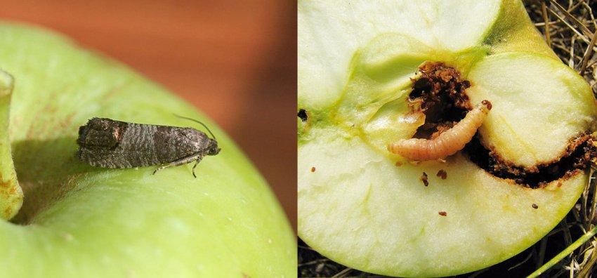 Плодожорка на яблоне