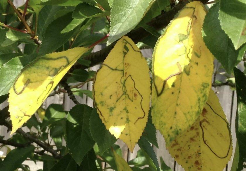 Хлороз листьев вишни