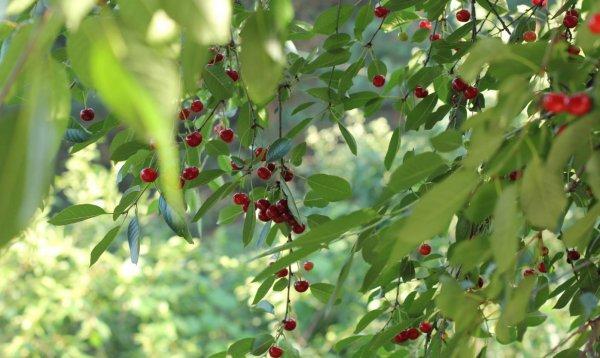 Отличительные особенности гибридов смородины и вишни посадка и уход размножение