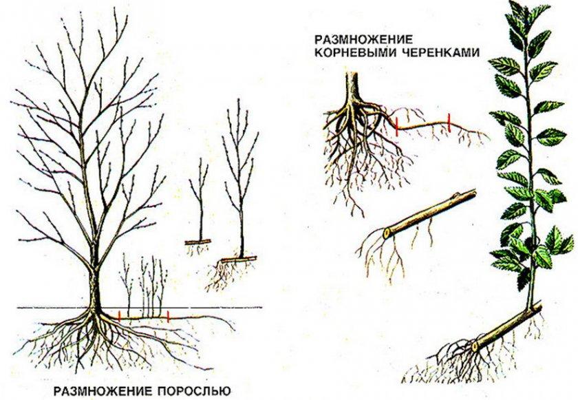 Размножение вишни корневой порослью и корневыми черенками
