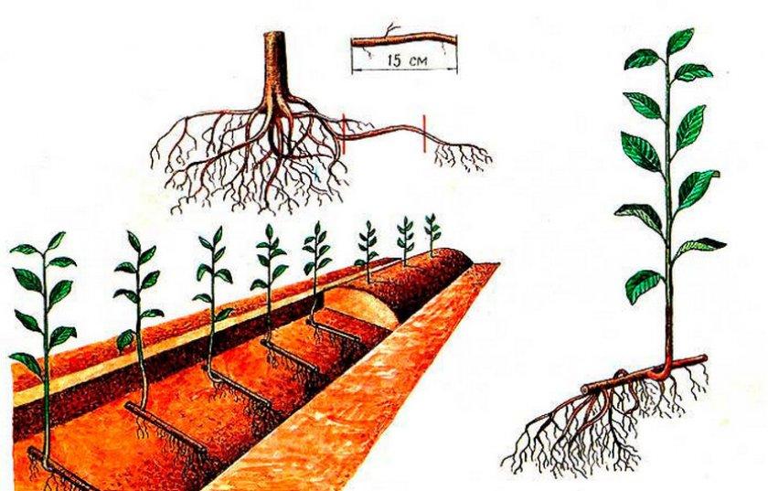 Размножение вишни корневимы отводками