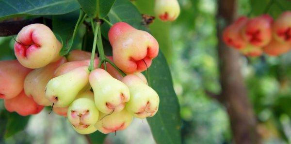 Яблоня руж розе