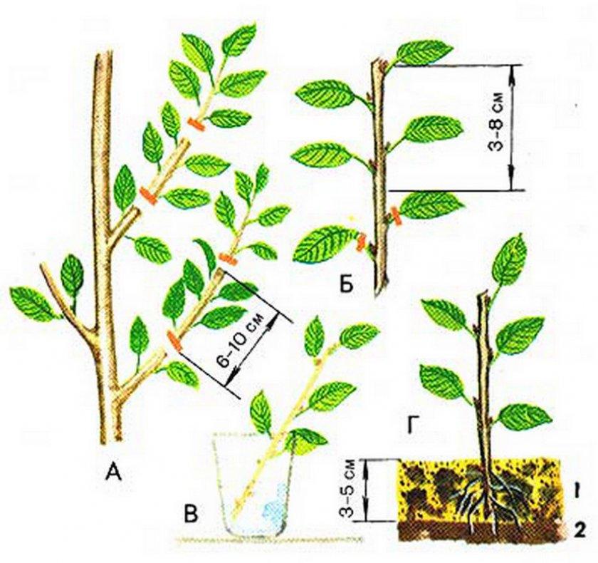 Размножение вишни зелёными черенками