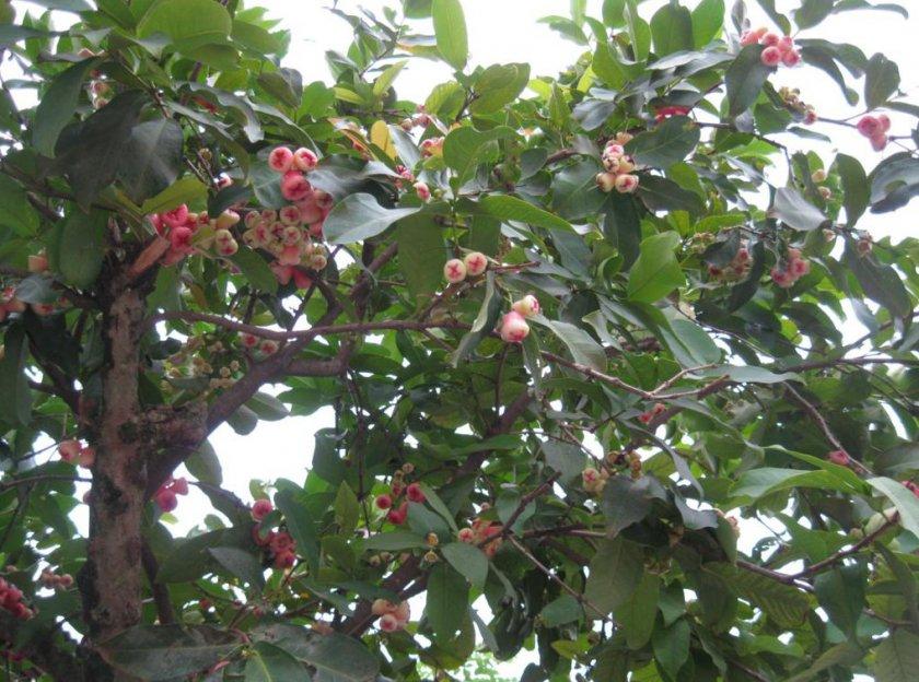 Дерево яванского яблока