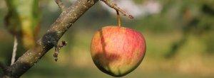 Яблоки от кожуры чистить или мыть, есть другие способы обработки