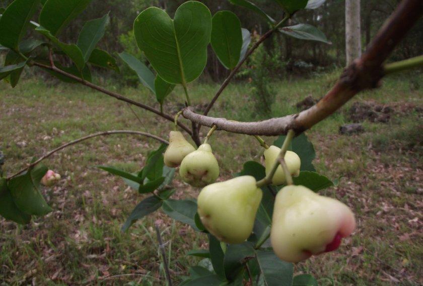 Выращивание и уход за яблоками Белая Роза