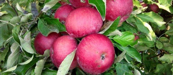 Кетош сорт яблок