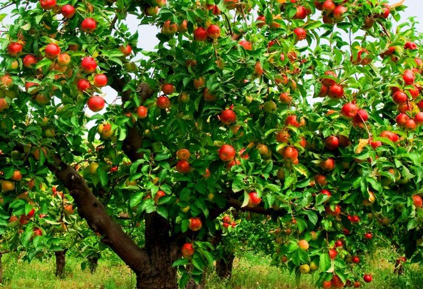 Яблоня сорта Айдаред
