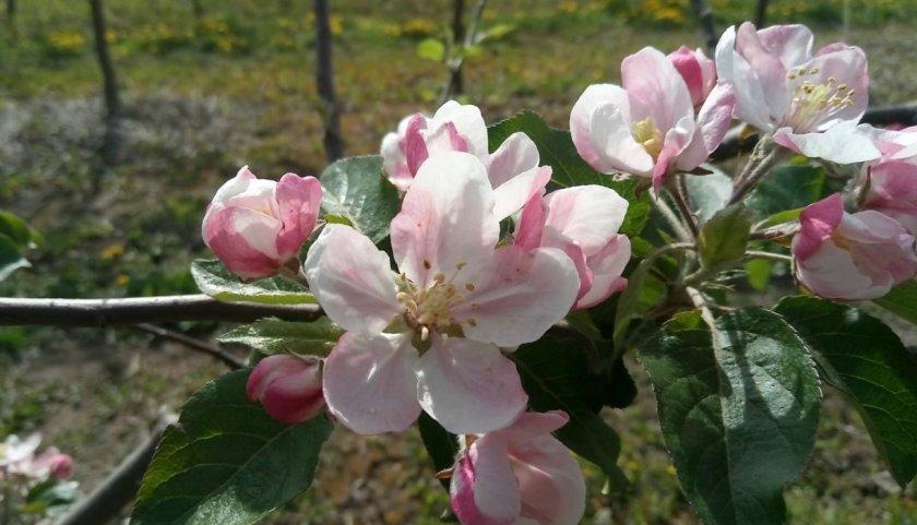 Цветение яблони Айдаред