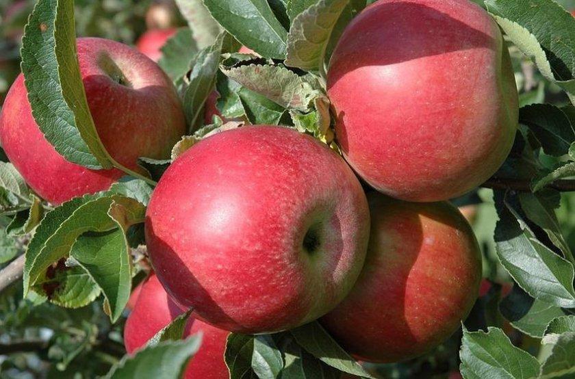 Урожайность яблони Айдаред
