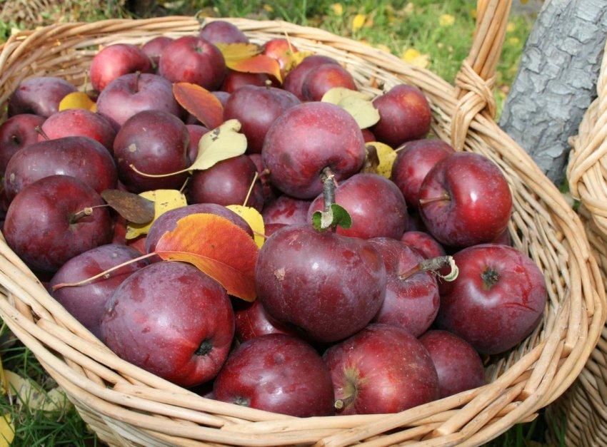 Урожай яблок Дарунок