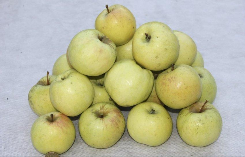 Яблоки сорта Брянское золотистое