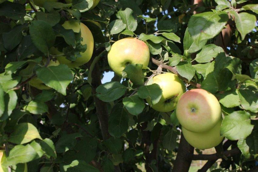 Урожайность яблони сорта Брянское золотистое