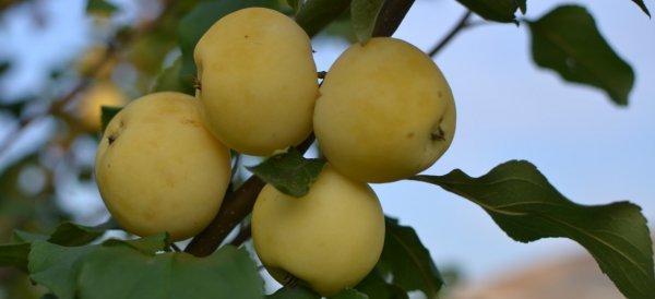 Агротехника выращивания яблони уральское наливное