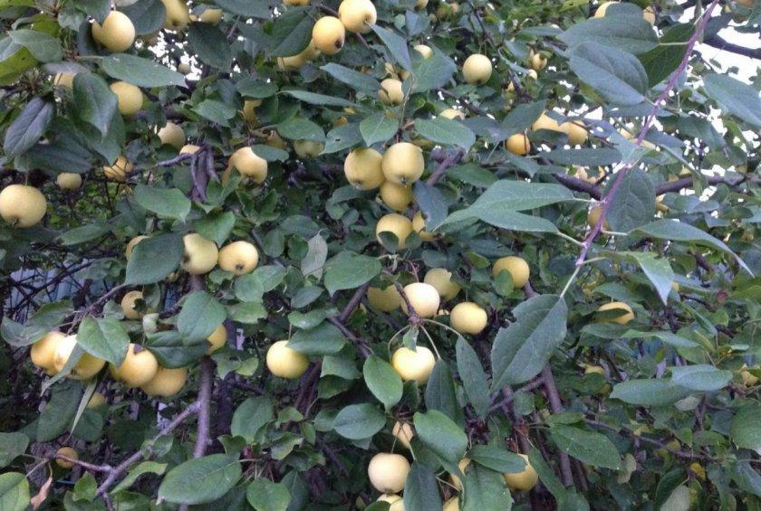 Плодоношение яблони Уральское наливное