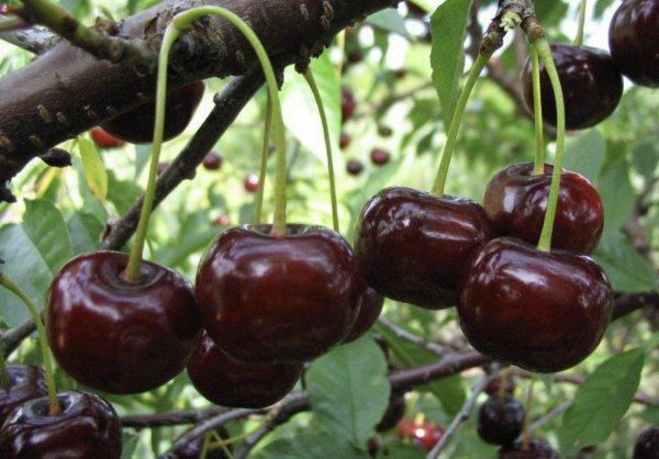 Вишня брюнетка описание и характеристики сорта история селекции и выращивание