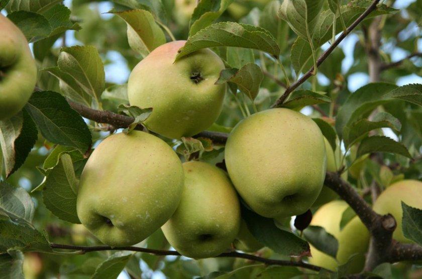 Мини яблоня голден делишес
